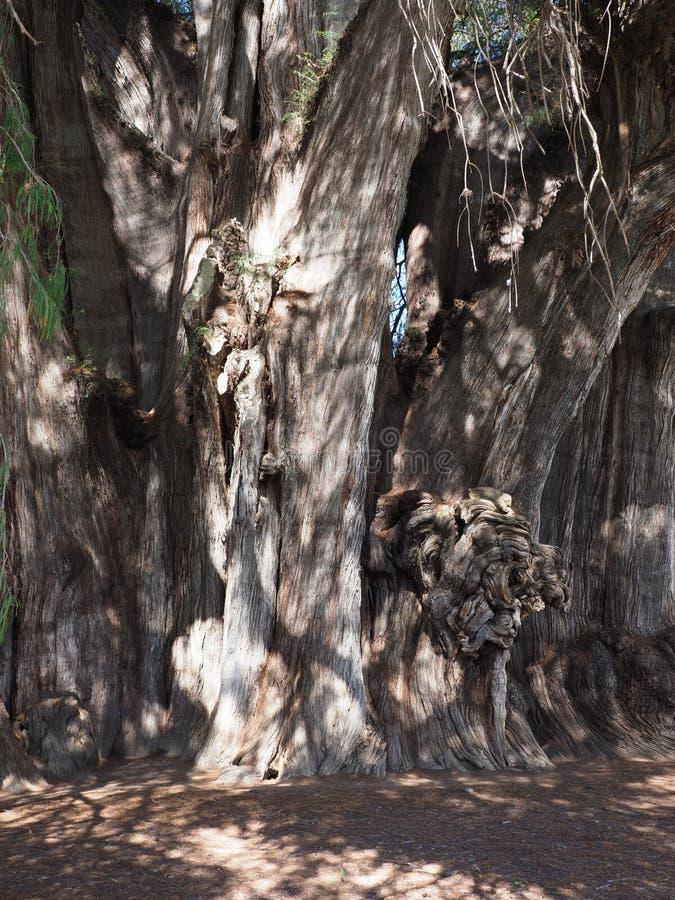 El tronco más valiente del mundo del árbol de ciprés grande de Montezuma en la ciudad de Santa Maria del Tule en México - vertica fotos de archivo libres de regalías