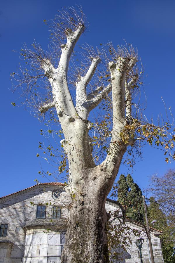 El tronco y las ramas de un árbol plano viejo con los lanzamientos jovenes imágenes de archivo libres de regalías