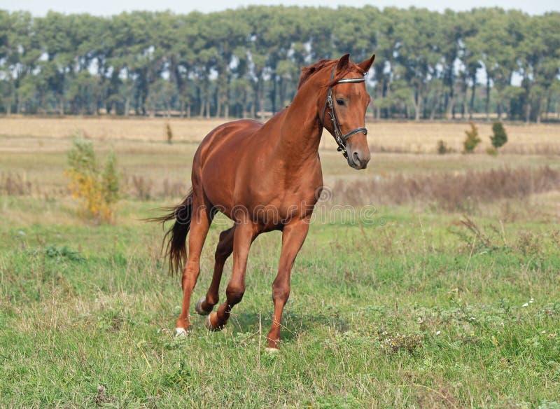 El trotar hermoso del caballo de la castaña fotos de archivo