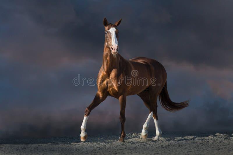 El trotar rojo hermoso del caballo fotos de archivo