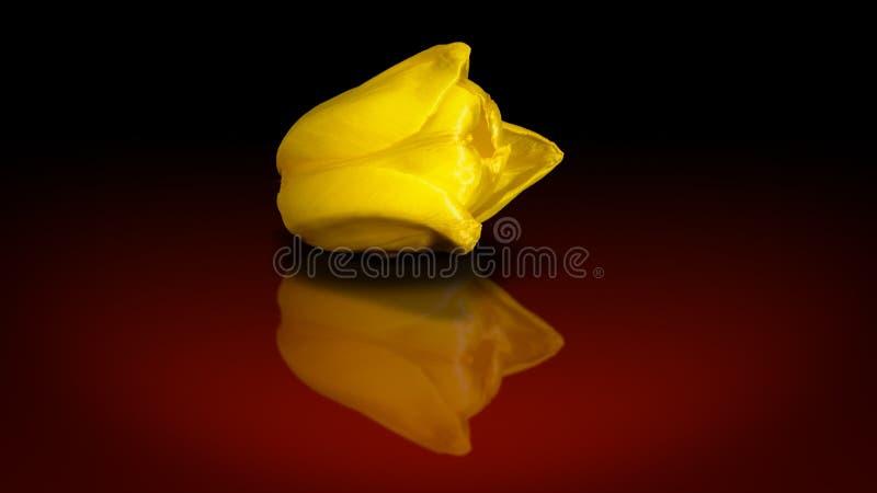 El tulipán fotografía de archivo libre de regalías