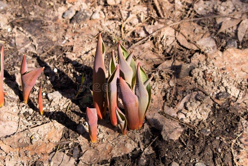 El tulipán brota haciendo su salida de la tierra en la primavera fotografía de archivo