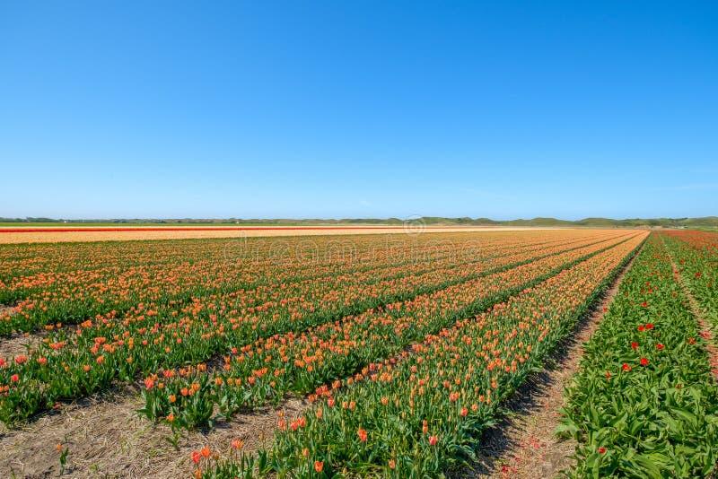 El tulipán colorido coloca apenas detrás de las dunas en la isla de Tex foto de archivo libre de regalías