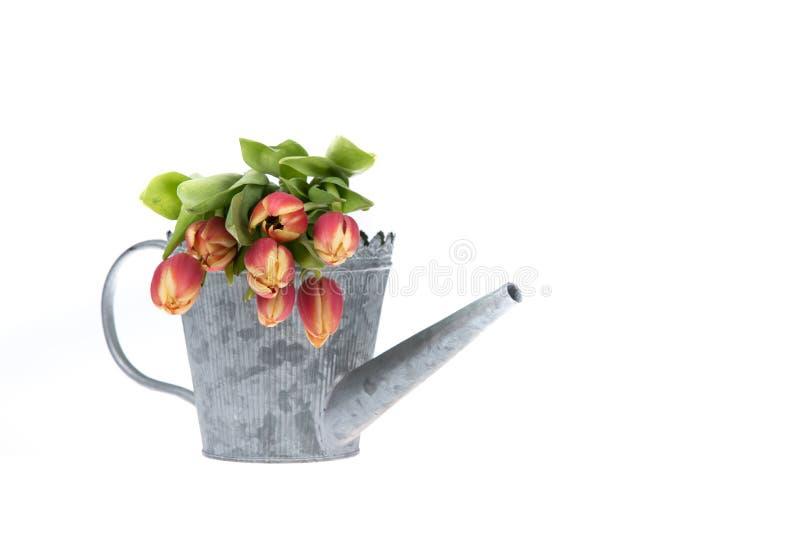 El tulipán colorido florece en un viejo ove de la regadera del metal foto de archivo