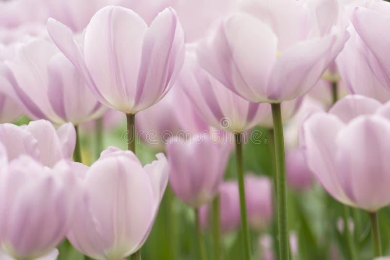 El tulipán florece el primer imagen de archivo