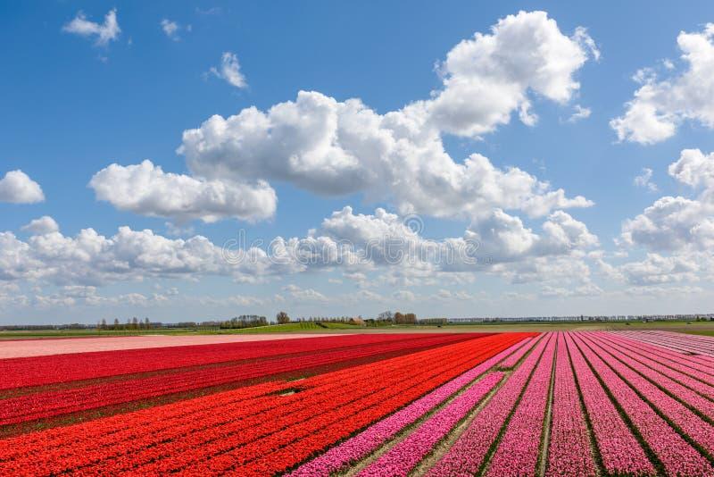 El tulipán rojo y rosado hermoso coloca debajo de un cielo nublado azul fotos de archivo libres de regalías