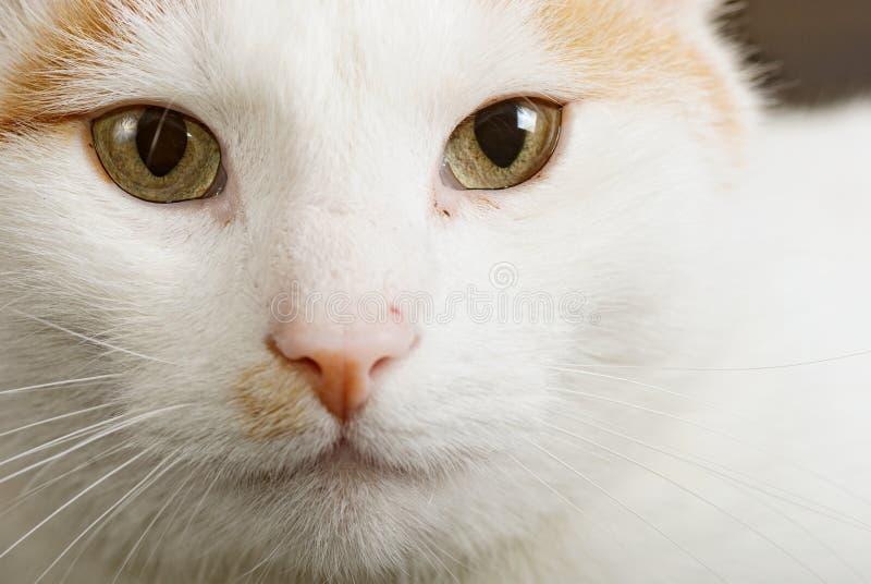El turco Van cat también llamó el gato de Anatoli fotografía de archivo libre de regalías
