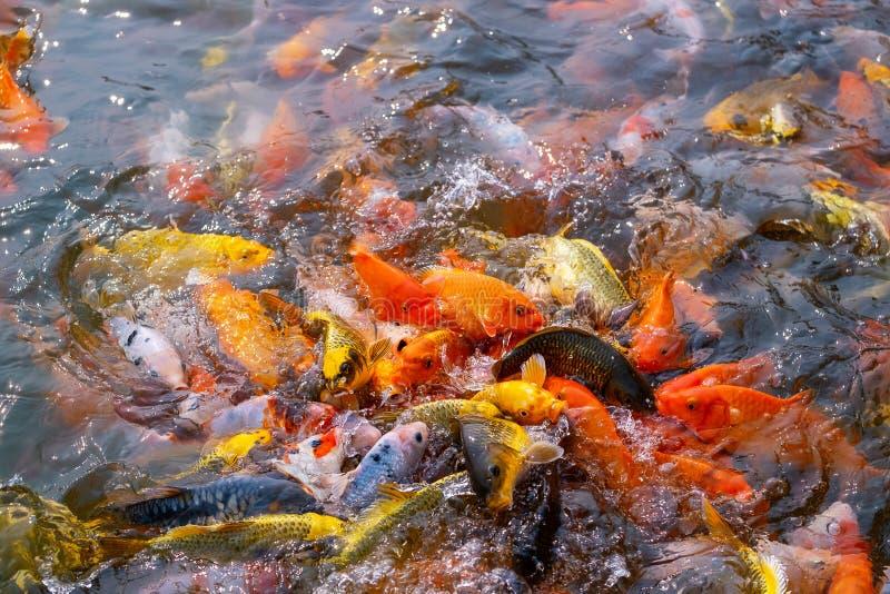 El turismo alimenta mucho la carpa de lujo hambrienta, pescado de la carpa de espejo, Koi en la charca fotos de archivo