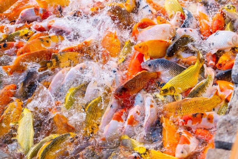 El turismo alimenta mucho la carpa de lujo hambrienta, pescado de la carpa de espejo, Koi en la charca fotos de archivo libres de regalías