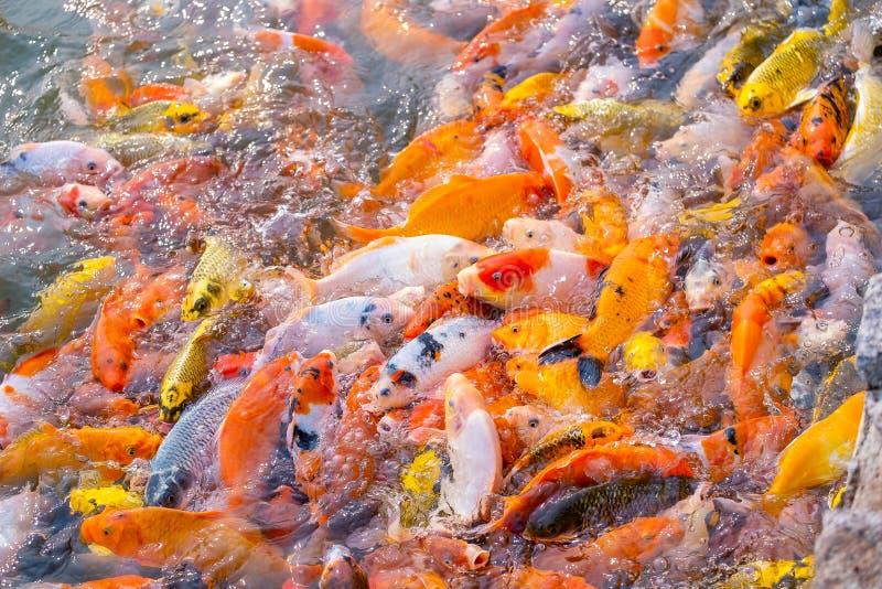 El turismo alimenta mucho la carpa de lujo hambrienta, pescado de la carpa de espejo fotografía de archivo