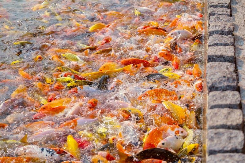 El turismo alimenta mucho la carpa de lujo hambrienta, pescado de la carpa de espejo imágenes de archivo libres de regalías