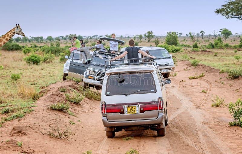 El turista en safari toma imágenes de jirafas en parque nacional adentro foto de archivo