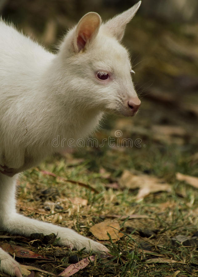El ualabi de bennett del bebé del albino foto de archivo libre de regalías