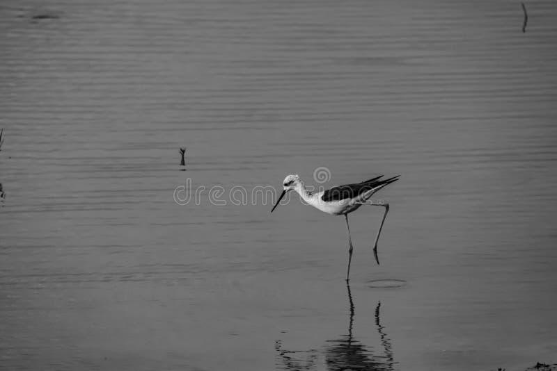 El vadear: Himantopus del Himantopus del zanco con alas negro en blanco y negro fotografía de archivo libre de regalías