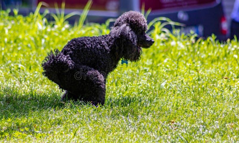 El vagabundo ha definido muy bien características faciales y es fácilmente distinguible de cualquier otra raza del perro: La cabe foto de archivo