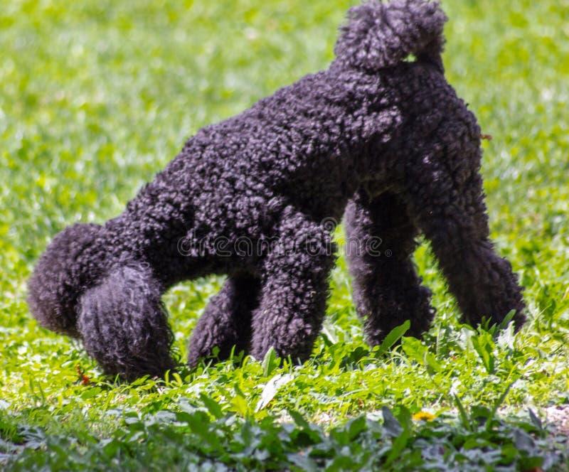 El vagabundo ha definido muy bien características faciales y es fácilmente distinguible de cualquier otra raza del perro: La cabe imagen de archivo libre de regalías