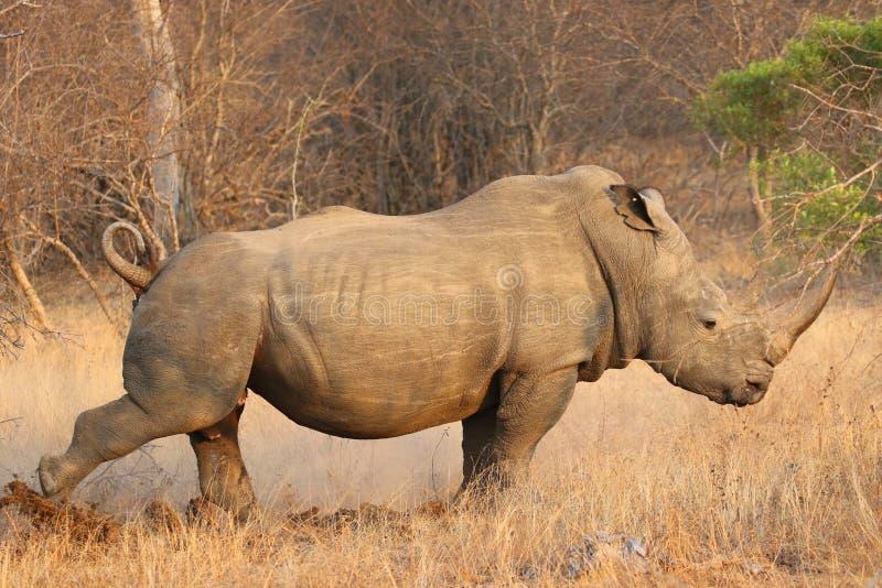 El varón blanco del rinoceronte en el parque nacional de Kruger foto de archivo libre de regalías
