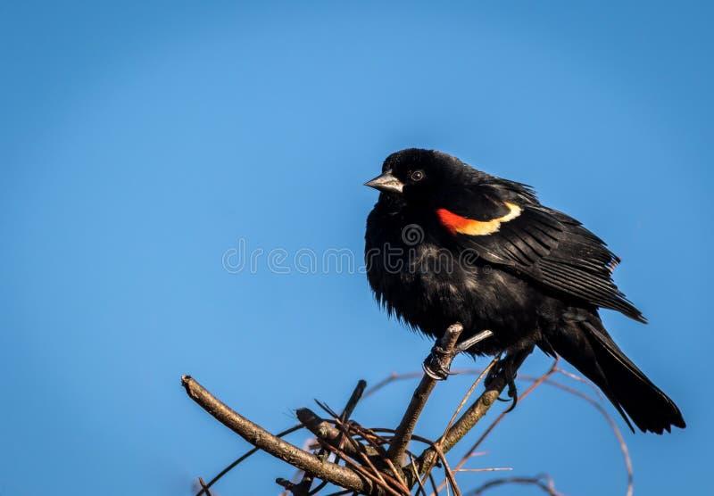 El varón del mirlo de alas rojas encaramado en una rama tiene remiendo rojo, anaranjado y amarillo brillante del ala fotografía de archivo