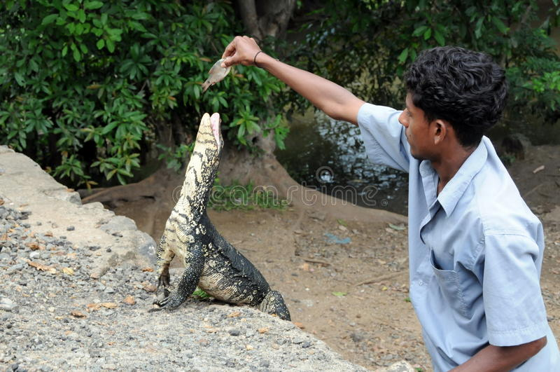 El varón desconocido alimenta el lagarto de monitor en la isla de Ceilán imagenes de archivo