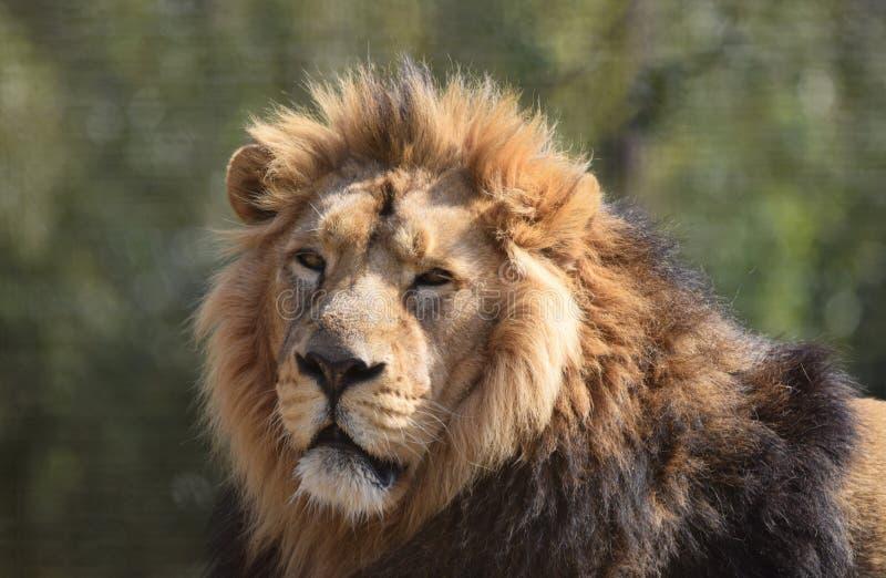 El varón grande Lion Portrait Head hace frente y melena foto de archivo