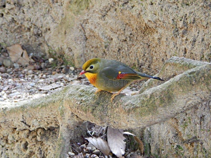El varón Rojo-cargó en cuenta la situación del pájaro de Leiothrix cerca de la tierra que ofrecía plumas coloridas fotografía de archivo libre de regalías