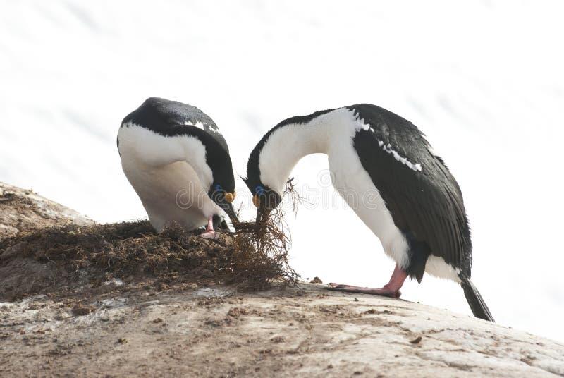 El varón y el cormorán de ojos azules antártico femenino construyen una jerarquía. fotos de archivo libres de regalías