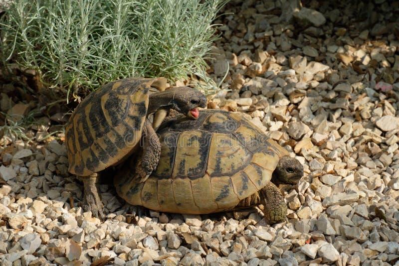 El varón y la tortuga griega femenina tienen cópula sexual fotografía de archivo libre de regalías