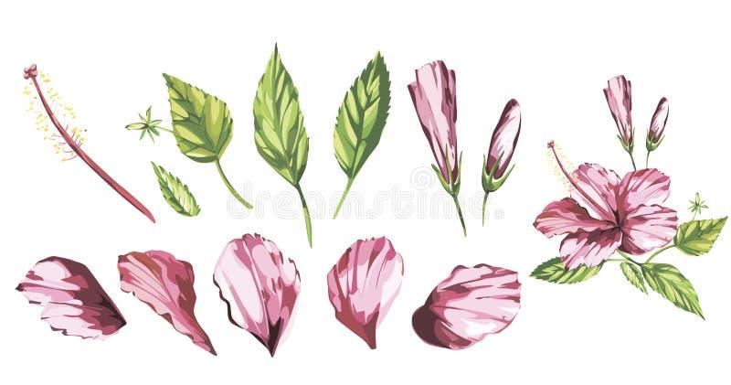 El vector de la acuarela aisló el ejemplo de un hibisco rosado, composición tropical de la flor en un fondo blanco EPS 10 stock de ilustración