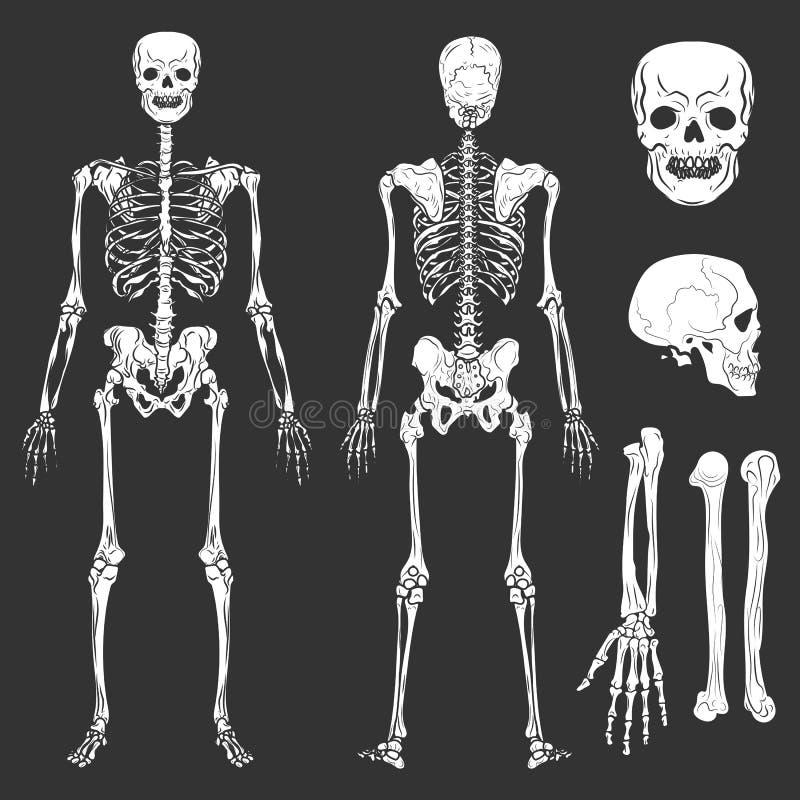 El vector esquelético de los huesos y de las juntas del cuerpo humano aisló iconos planos libre illustration