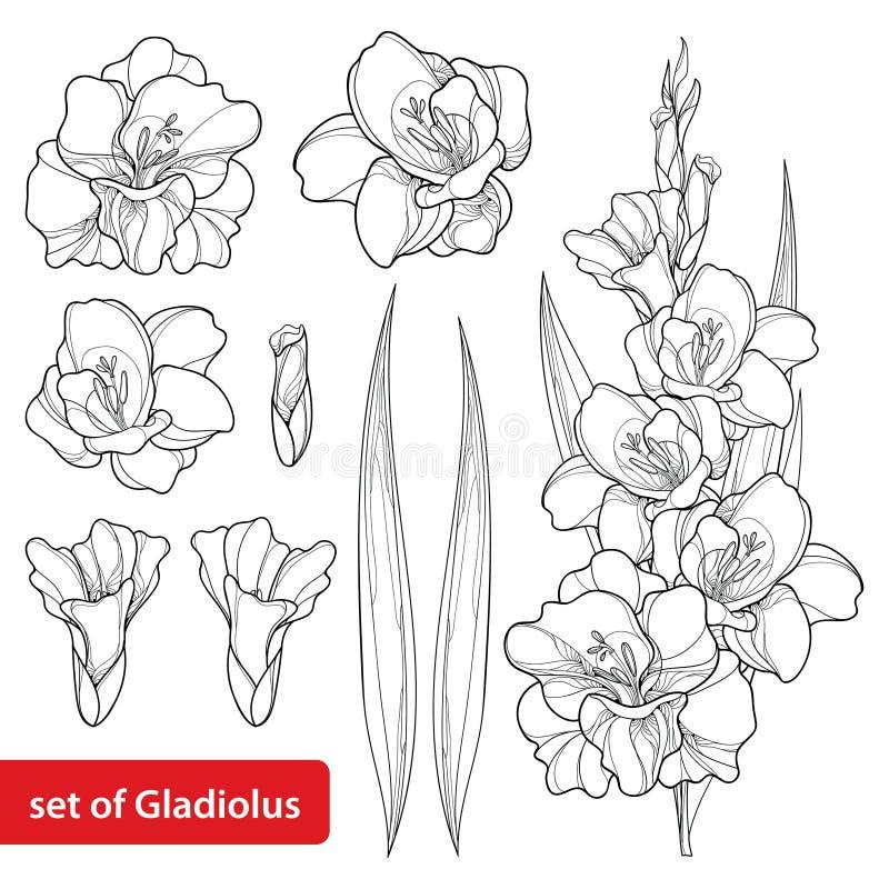 El vector fijó con la flor del lirio del gladiolo o de espada, el manojo, el brote y la hoja en negro aislados en el fondo blanco libre illustration