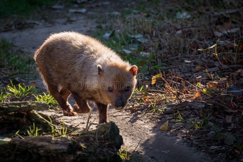 El venaticus de Speothos del perro del arbusto es un cánido encontrado en central y Suramérica imagen de archivo