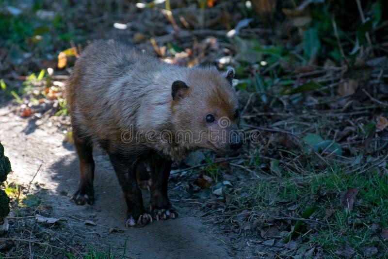 El venaticus de Speothos del perro del arbusto es un cánido encontrado en central y Suramérica imagenes de archivo