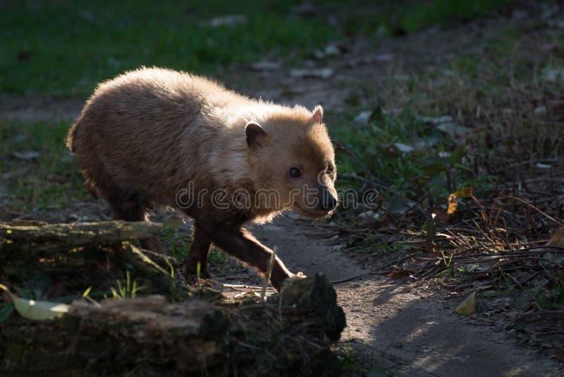 El venaticus de Speothos del perro del arbusto es un cánido encontrado en central y Suramérica fotografía de archivo libre de regalías