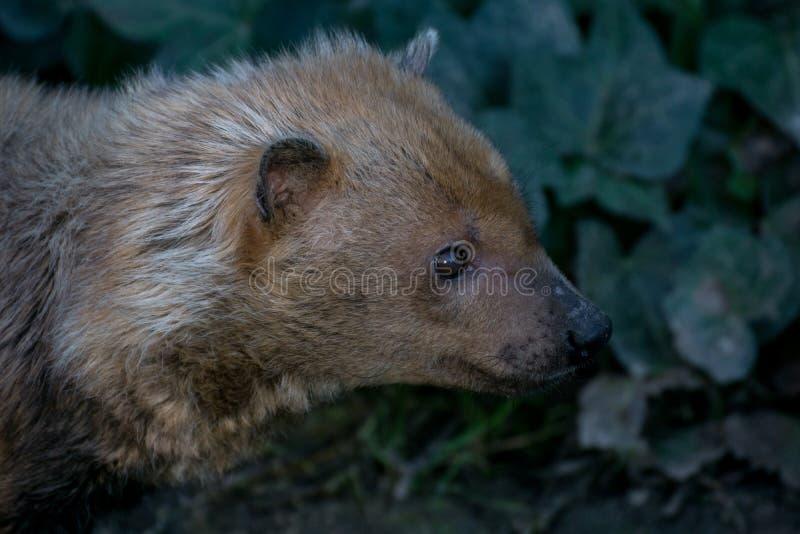 El venaticus de Speothos del perro del arbusto es un cánido encontrado en central y Suramérica foto de archivo libre de regalías