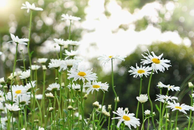 El verano hermoso con la flor floreciente de la margarita en el fondo borroso, salta concepto de los fondos fotografía de archivo libre de regalías