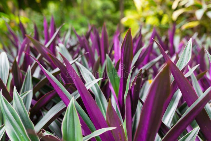 El verano púrpura florece en fondo borroso de la hierba verde Hisopo del color violeta Officinalis del Hyssopus imagenes de archivo