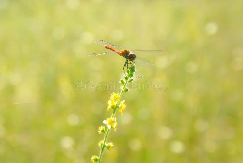 El verde amarillo empañó el fondo del prado con una libélula - 2 fotografía de archivo