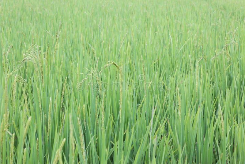 El verde de la hoja del arroz fotografía de archivo