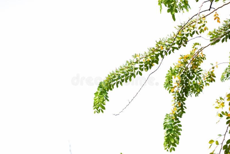 El verde de la naturaleza se va hermoso en fondo aislado árbol fotografía de archivo