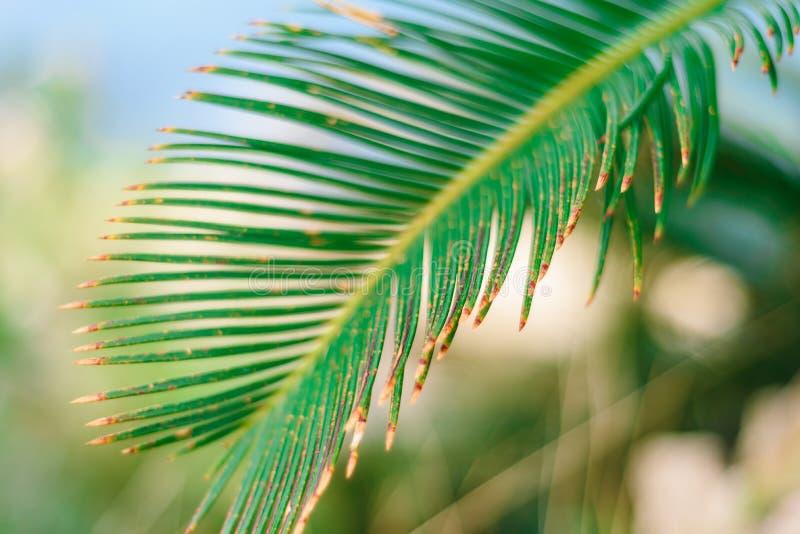el verde de la palma deja el modelo en la playa Naturaleza tropical del verde de la planta de la palma o ahorrar concepto ambient imágenes de archivo libres de regalías