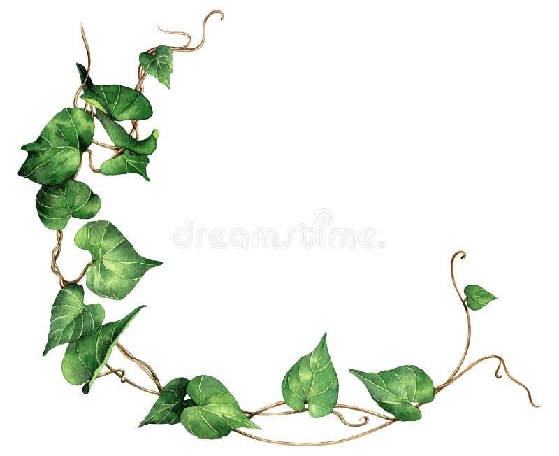 El verde de la pintura de la acuarela deja la hiedra aislada en el fondo blanco Ejemplo pintado a mano de la acuarela Modelo verd stock de ilustración