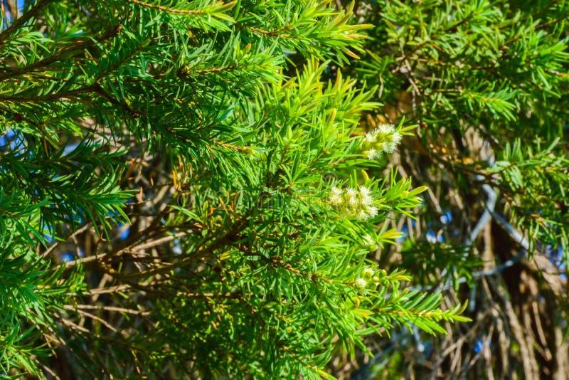El verde deja el fondo del pino, las hojas del pino son verdes y las flores son blancas imagenes de archivo