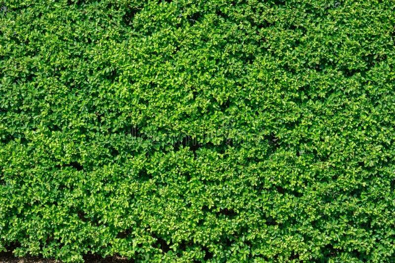 El verde deja la textura de la pared para el diseño del contexto, fondo de la naturaleza fotografía de archivo libre de regalías