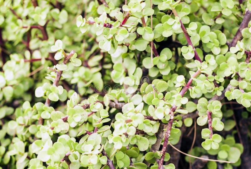 """El verde deja la textura para arbusto de la planta del †del diseño del contexto """"en la calle de Catania, Sicilia, Italia imágenes de archivo libres de regalías"""
