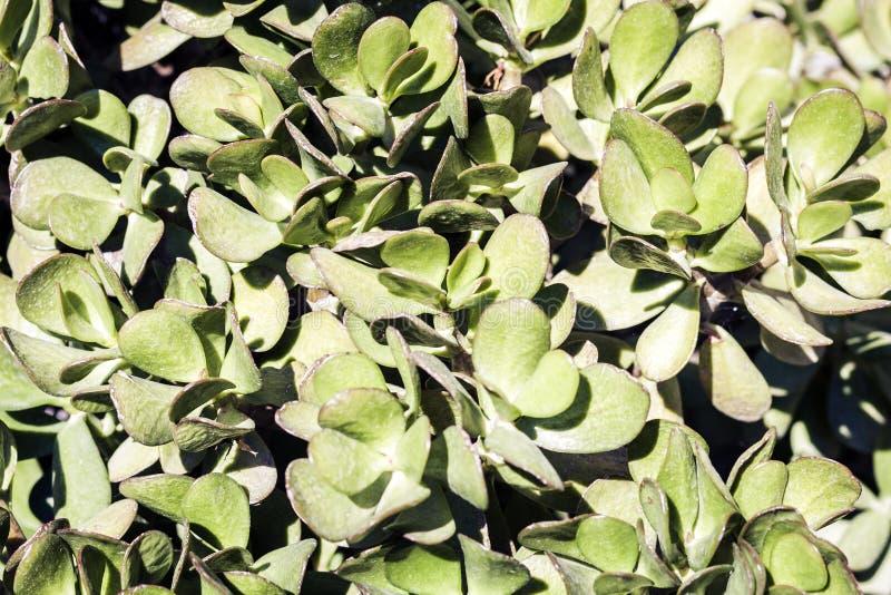 """El verde deja la textura para arbusto de la planta del †del diseño del contexto """"en la calle de Catania, Sicilia, Italia imagen de archivo libre de regalías"""