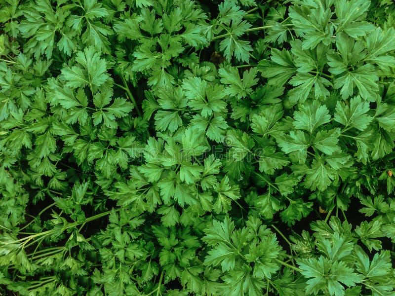 El verde deja a verduras del jardín del perejil el fondo de las hierbas imagen de archivo