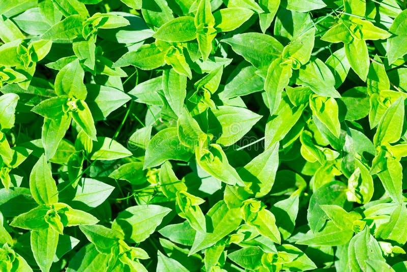El verde del Soapwort (officinalis del Saponaria) deja el fondo fotografía de archivo