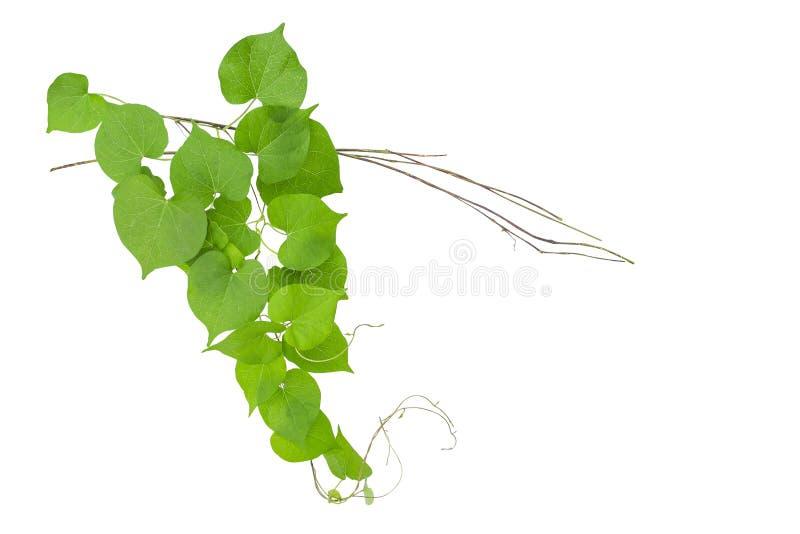 El verde en forma de corazón deja la vid salvaje con las ramas aisladas en wh fotografía de archivo