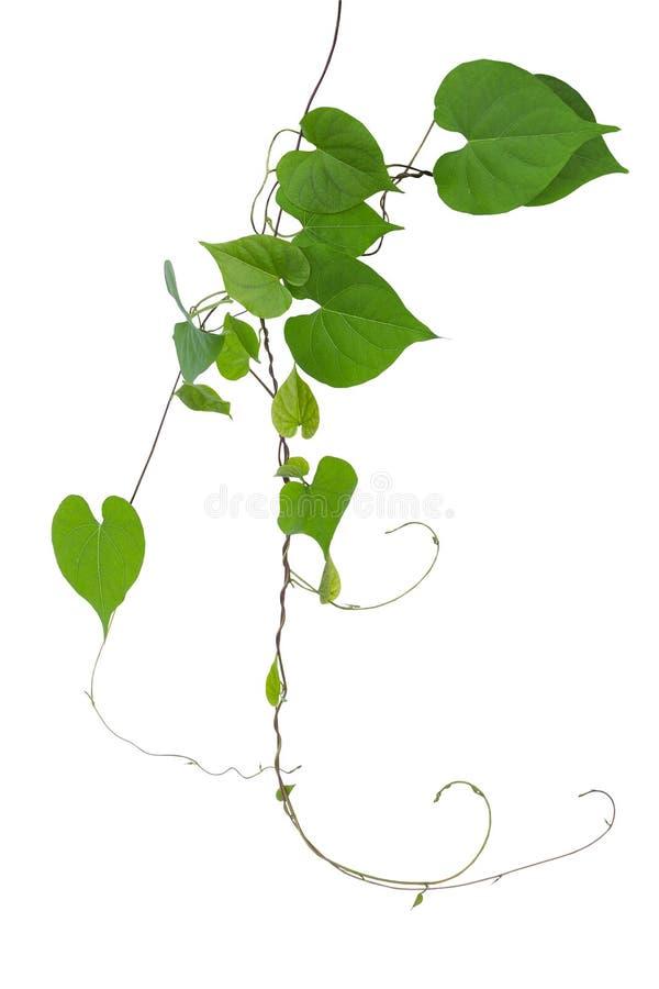 El verde en forma de corazón deja la vid salvaje con las ramas y los zarcillos i fotos de archivo libres de regalías