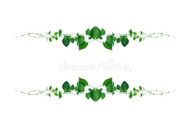 El verde en forma de corazón sale las vides torcidas de la planta de la selva de la liana aislada en el fondo blanco stock de ilustración